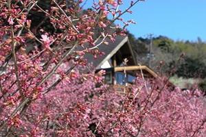 根府川おかめ桜まつり